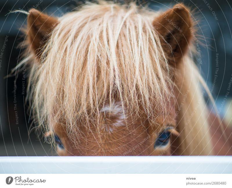 Isländer Reitsport Landwirtschaft Forstwirtschaft Tier Nutztier Wildtier Pferd Tiergesicht Fell Mähne 1 entdecken Kommunizieren Blick stehen frech frei