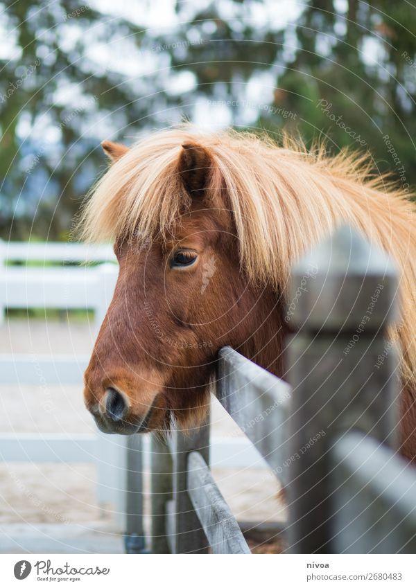 Islandpony schaut über Zaun Reitsport Reitplatz Landwirtschaft Forstwirtschaft Umwelt Natur Pflanze Baum Tier Nutztier Wildtier Pferd Tiergesicht Fell Mähne