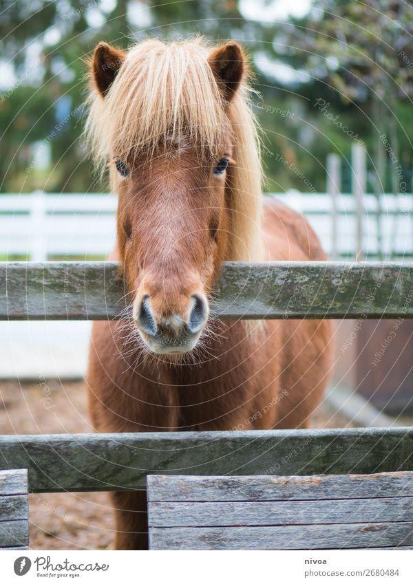 Isländerpferd schaut über Zaun Reitsport Landwirtschaft Forstwirtschaft Umwelt Natur Pflanze Blume Tier Nutztier Wildtier Pferd Fell Mähne 1 Paddock Stall Sand