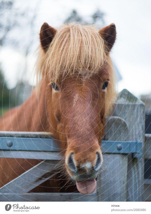Islandpferd streckt die Zunge raus Reitsport Landwirtschaft Forstwirtschaft Umwelt Natur Landschaft Pflanze Baum Tier Nutztier Wildtier Pferd Fell Mähne 1