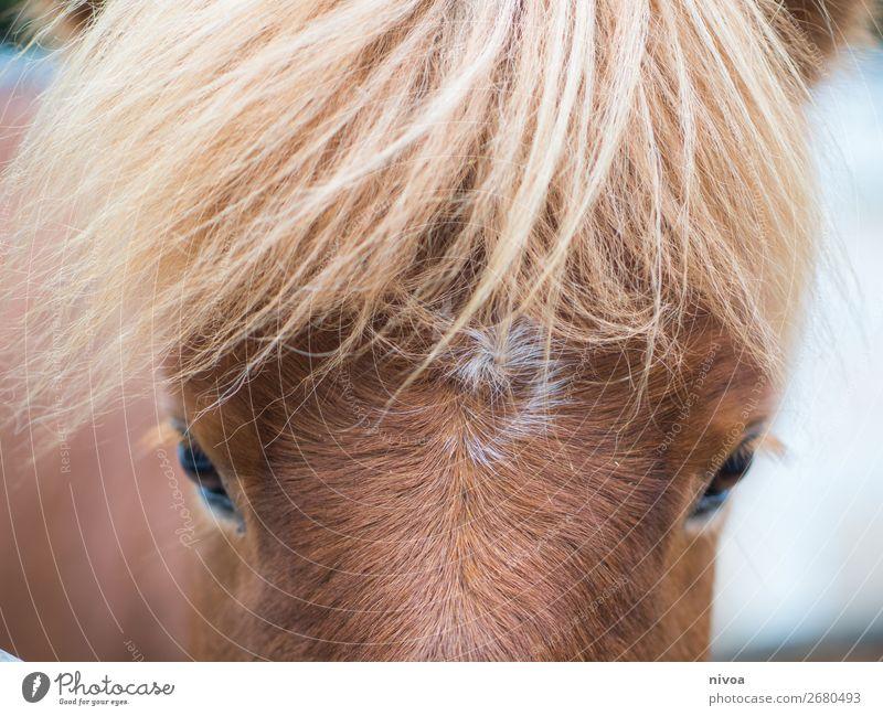 Isländer Stirn mit mähne rot Tier Gesundheit Umwelt Schnee Glück braun frei frisch Eis stehen Fröhlichkeit Wind beobachten Freundlichkeit Schutz