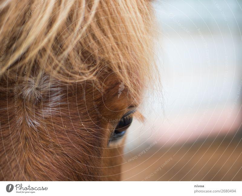 Isländer Pferd im Close-up Insel Winter Reitsport Umwelt Natur Tier Nutztier 1 Fell Mähne Auge fuchs beobachten entdecken stehen blond Freundlichkeit