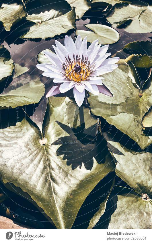 Farbig getöntes Bild einer Seerosenblüte. Sommer Garten Natur Pflanze Blume Blatt Blüte Teich natürlich retro einzigartig Nostalgie ruhig Sinnesorgane Stimmung