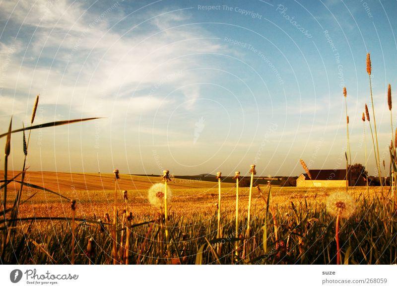 Sommerzeit Umwelt Natur Landschaft Pflanze Urelemente Himmel Wolken Klima Schönes Wetter Wärme Gras Nutzpflanze Feld Hügel Pause Scheune Löwenzahn Straßenrand
