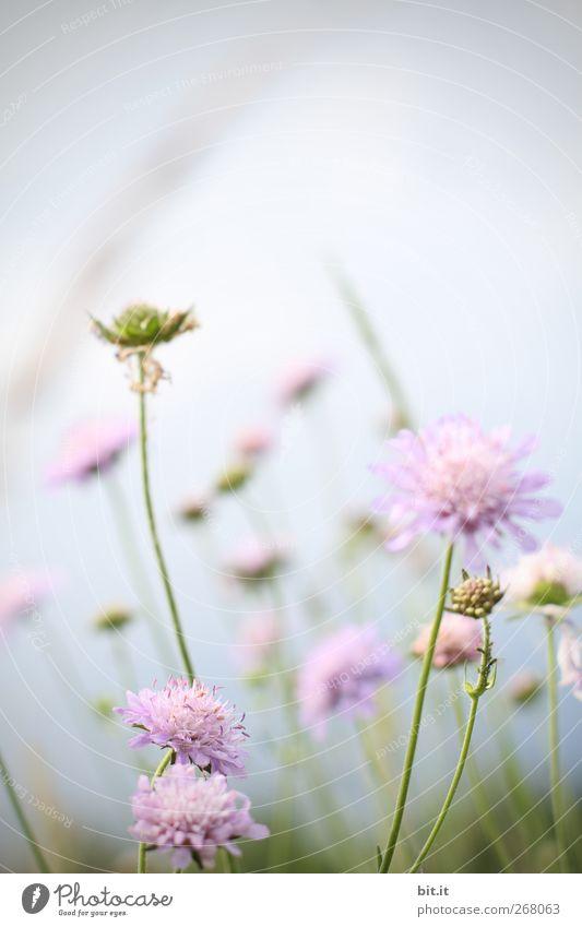 Sonnenanbeter... Himmel Natur Pflanze Sommer Blume ruhig Blüte Frühling Wiese Garten Feste & Feiern rosa Geburtstag Blühend Klima Schönes Wetter