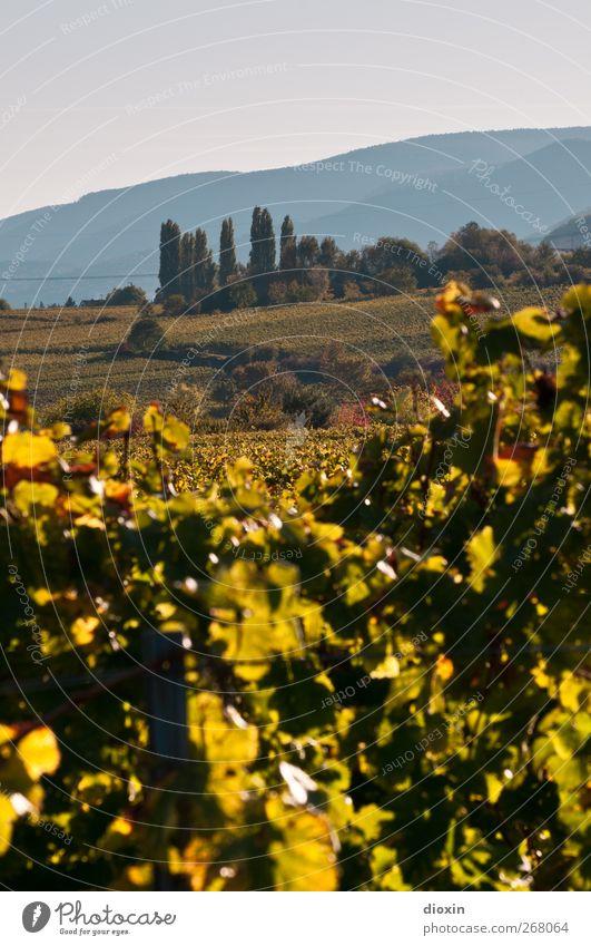 Il Palatino Landwirtschaft Forstwirtschaft Umwelt Landschaft Himmel Wolkenloser Himmel Herbst Schönes Wetter Pflanze Baum Grünpflanze Nutzpflanze Wein Weinbau