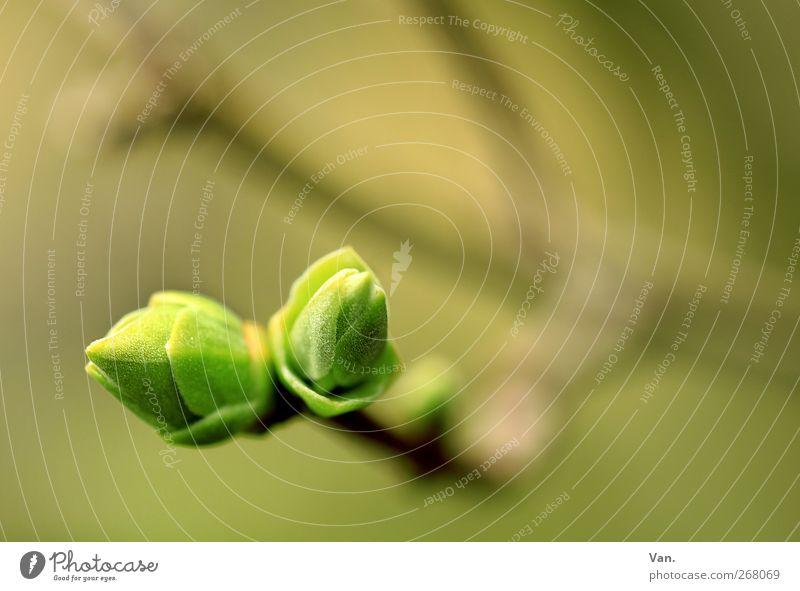 zusammen wachsen Natur grün Baum Pflanze Blatt Wärme Frühling Garten Wachstum Sträucher Schönes Wetter Zweig Blattknospe Fliederbusch