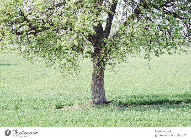 Baum Natur grün Pflanze Umwelt Frühling Gras Blüte Feld natürlich Schönes Wetter Baumstamm Baumkrone ländlich Landleben Blätterdach