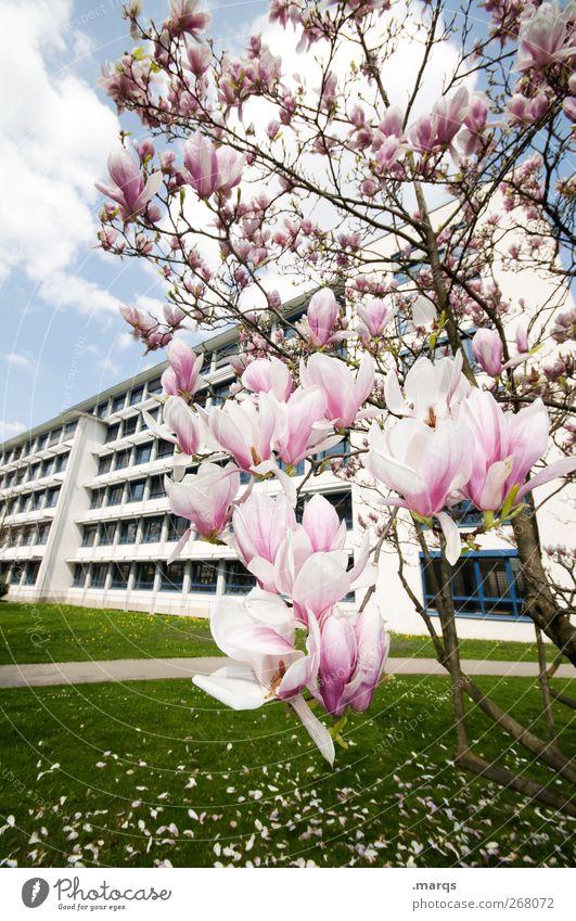 Magnolie Umwelt Natur Frühling Sommer Klima Klimawandel Schönes Wetter Pflanze Blüte Magnoliengewächse Magnolienbaum Wiese Bauwerk Gebäude Blühend frisch schön
