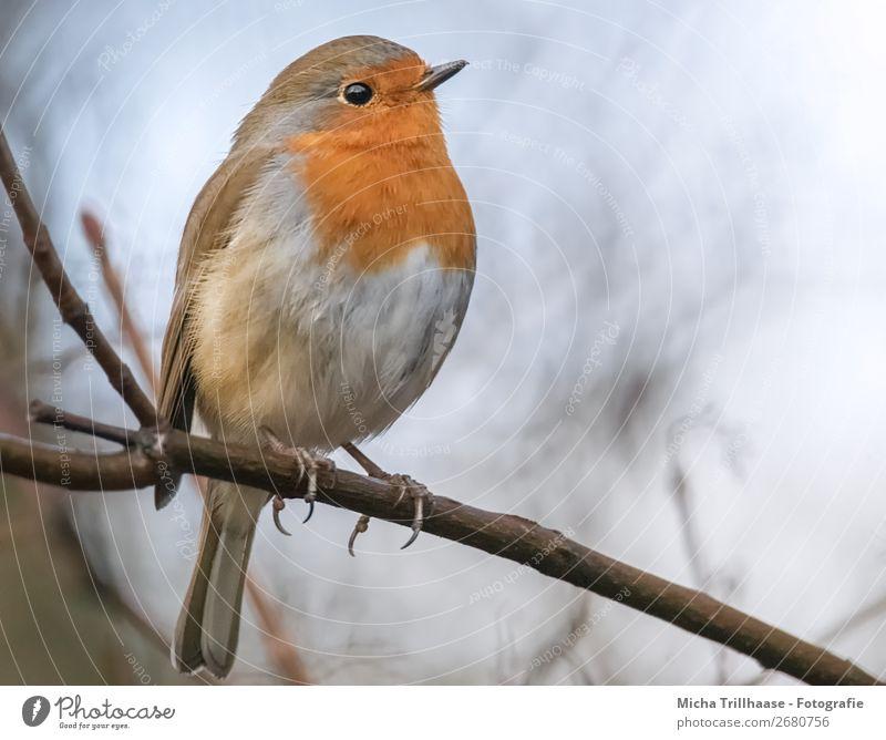 Rotkehlchen Portrait Himmel Natur blau weiß Baum Tier gelb Umwelt Auge natürlich orange Vogel leuchten Wildtier sitzen Feder