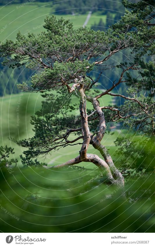 Zirbe Natur alt grün Baum Pflanze Wald Wiese Holz Sträucher Alpen Forstwirtschaft Grünpflanze Kiefer Nadelbaum Nutzpflanze eigenwillig