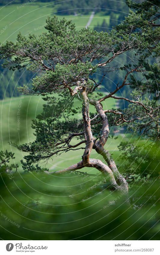 Zirbe Natur Pflanze Baum Sträucher Grünpflanze Nutzpflanze Wiese Wald Alpen grün Kiefer Nadelbaum alt eigenwillig dunkelgrün Forstwirtschaft Holz Außenaufnahme