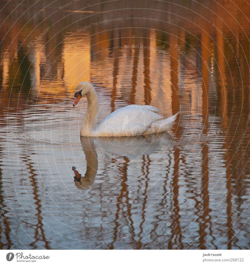 mir schwante nichts böses Natur Frühling Baum Teich Franken Wildtier Schwan 1 Tier Wasser authentisch ästhetisch Wasserwirbel Verwirbelung Wohlgefühl Silhouette