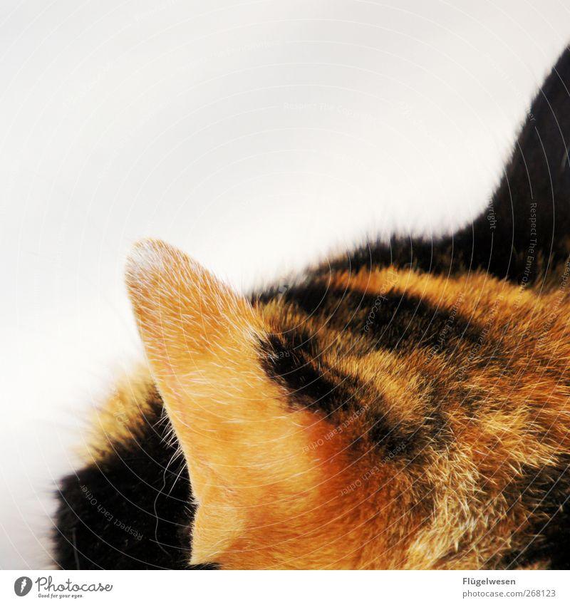 Ganz Ohr Katze Tier Tierjunges Fell Tiergesicht Zoo Jagd Haustier Pfote Krallen Fährte Katzenbaby Katzenauge Spuren Totes Tier Katzenpfote