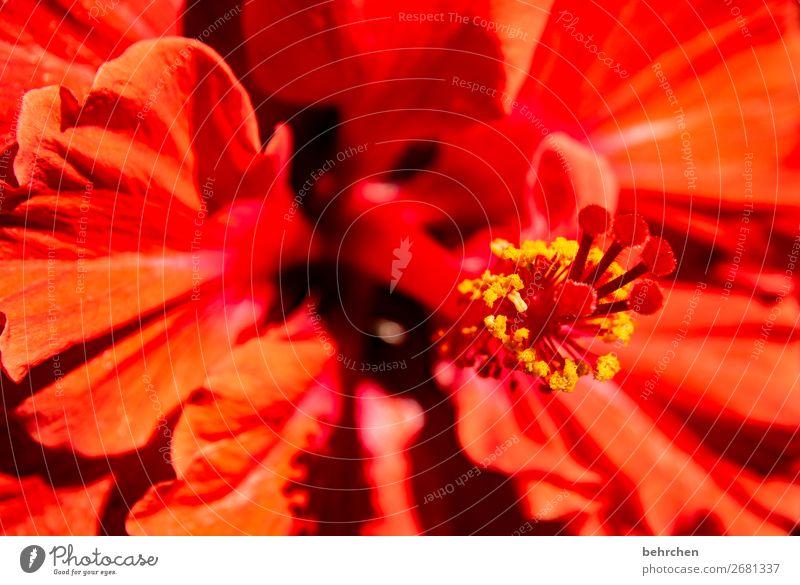 weihnachtsstern;) Ferien & Urlaub & Reisen Tourismus Ausflug Abenteuer Ferne Freiheit Natur Pflanze Blume Blüte Hibiscus Hibiscusblüte Blühend Duft rot Asien
