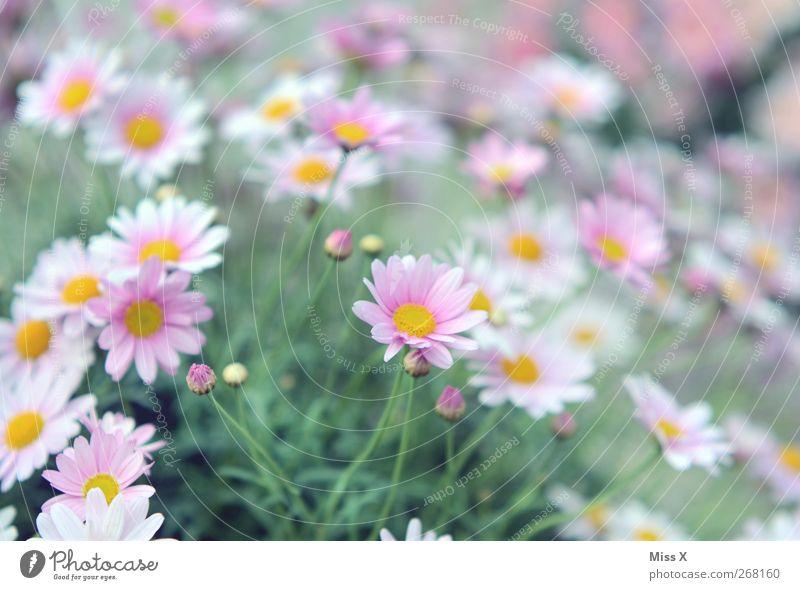 Blumenmeer Natur Pflanze Frühling Sommer Sträucher Blüte Garten Blühend Duft rosa Frühlingsblume Margerite Farbfoto Außenaufnahme Nahaufnahme Menschenleer