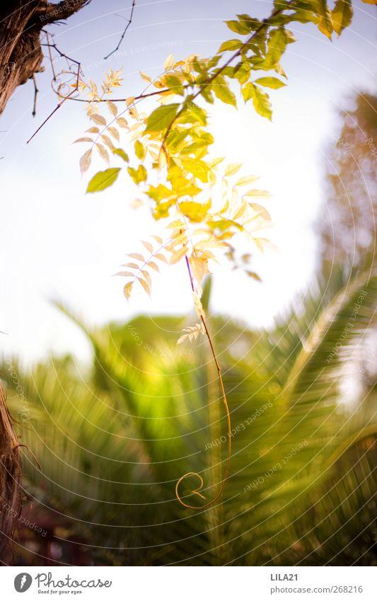 Kringel Ferien & Urlaub & Reisen Ausflug Sommer Sommerurlaub Sonne Garten Natur Pflanze Frühling Wetter Schönes Wetter Baum Blatt exotisch Park Wachstum