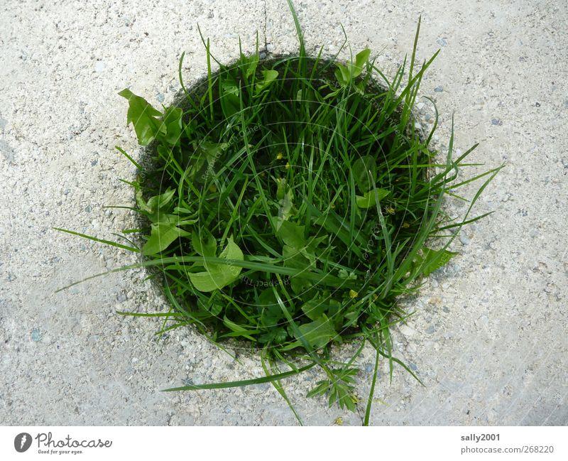 Der grüne Punkt Garten Natur Pflanze Gras Wiese Mauer Wand Stein Beton Wachstum nachhaltig rund Optimismus Kraft Endzeitstimmung Mittelpunkt Umweltverschmutzung