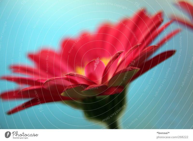 tschüß april Frühling Pflanze Blume Blatt Blüte Gerbera Blühend Duft leuchten Wachstum ästhetisch Freundlichkeit schön natürlich rund Wärme blau rot Sympathie