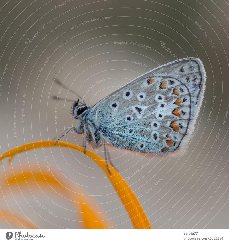Bläuling mit schöner Flügelzeichnung sitzt mit geschlossenen Flügeln auf einem gelben Blütenblatt Natur Schmetterling Falter Lepidoptera grau Makro Tier Insekt