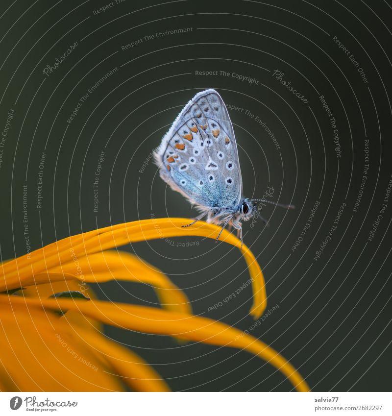 Bläuling sitzt in Ruhestellung auf gelber Blüte Natur Schmetterling Bläulinge Tierporträt Kontrast Farbfoto Außenaufnahme Makroaufnahme Hintergrund neutral