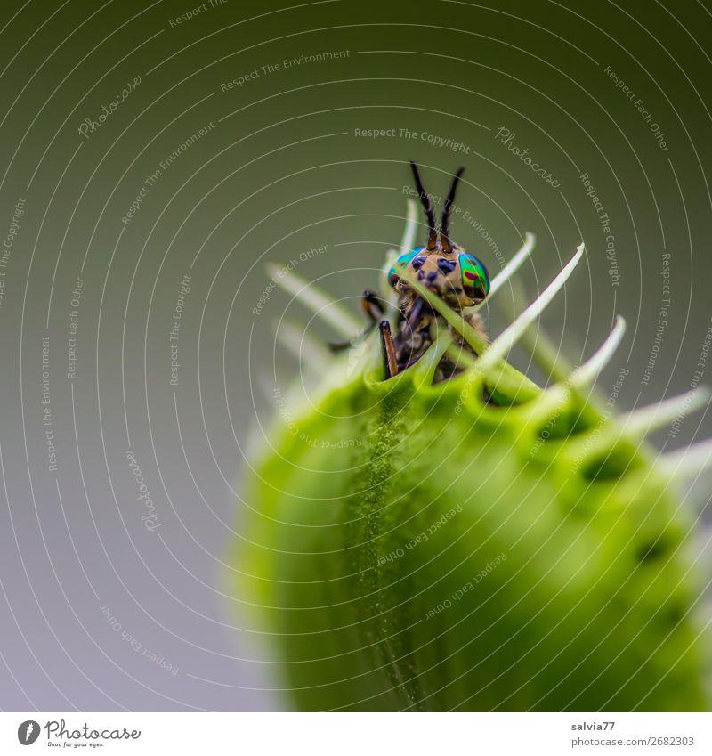 ein letzter Blick Natur Pflanze Blatt exotisch Venusfliegenfalle Stachel Tier Fliege Facettenauge Insekt stechend 1 außergewöhnlich bedrohlich Erfolg listig