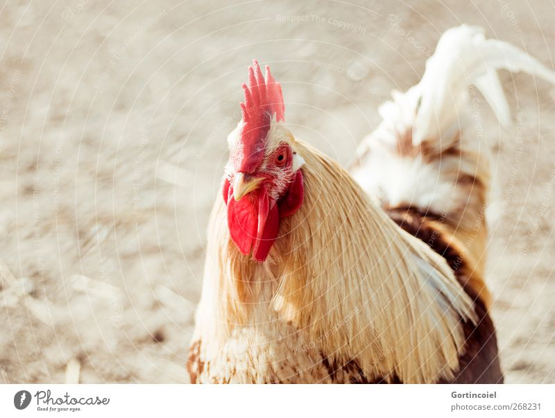 Chef Tier Nutztier Vogel Tiergesicht 1 Stolz Hahn Hahnenkamm Feder Schnabel Hühnervögel Landleben Freilandhaltung Farbfoto Textfreiraum links Licht Sonnenlicht