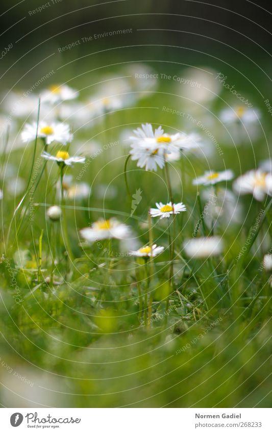 Gänseblümchen Nr. 2 Garten Natur Pflanze Frühling Sommer Gras Wiese träumen entspannung Gartenarbeit Rasen gelb grün weiß unscharf Farbfoto Außenaufnahme