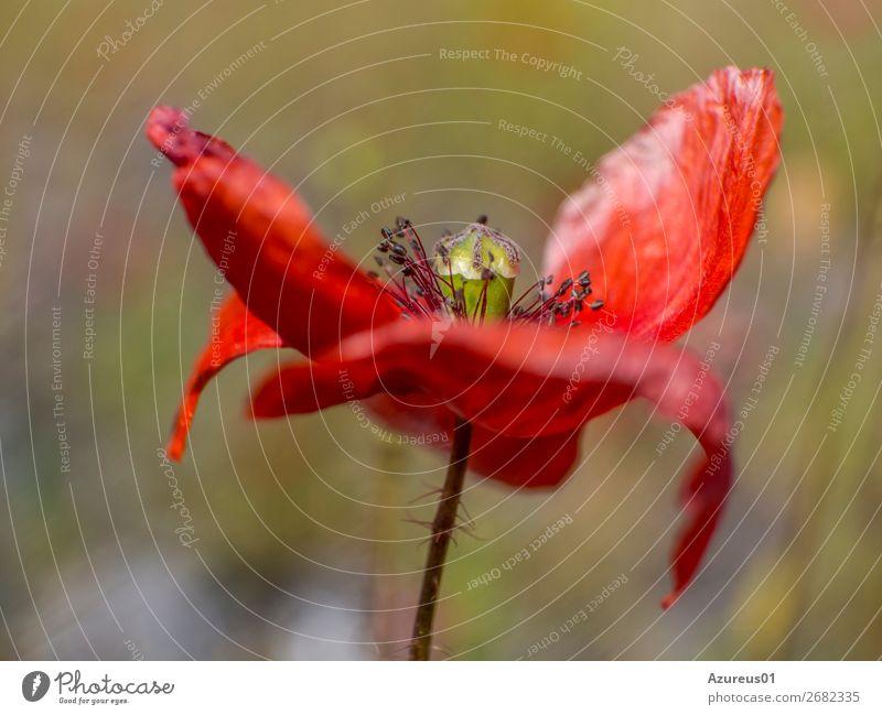 Mohnblüte - roter Klatschmohn - Papaver rhoeas Umwelt Natur Landschaft Pflanze Frühling Sommer Blume Blüte Wildpflanze Feld Dortmund Deutschland Europa