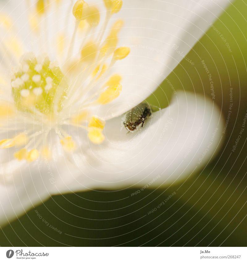 Hide and seek Pflanze Frühling Blume Blüte Buschwindröschen Tier Käfer 1 gelb grün Farbfoto Außenaufnahme Makroaufnahme Tag Schwache Tiefenschärfe
