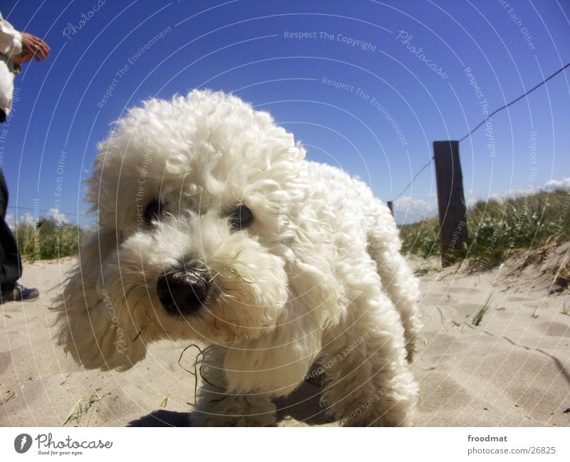 Schmutz am Maul - aber sonst recht sauber Hund weich weiß Neugier Strand süß Knopfauge niedlich Fell Küste Blick Sommer Tier dreckig Zaun Geruch Draht Gras