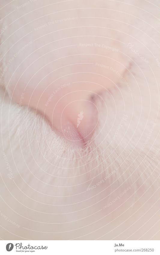 Kuschelweich Haustier Katze Tiergesicht Fell Katzenkopf 1 rosa Gedeckte Farben Makroaufnahme Schwache Tiefenschärfe