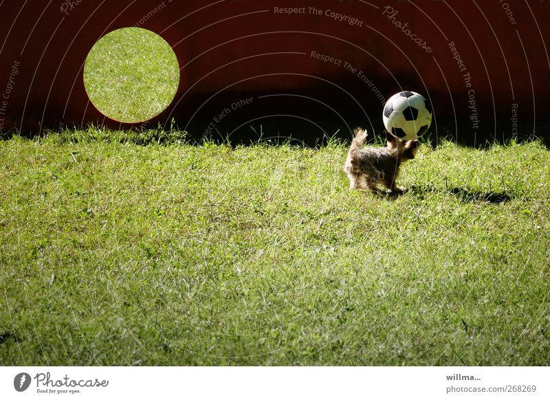 Schnapp-Schuss, kleiner Hund mit Fußball Ballsport Kopfball Tor Wiese Tier Yorkshire-Terrier Spielen Sport toben lustig niedlich Geschwindigkeit sportlich