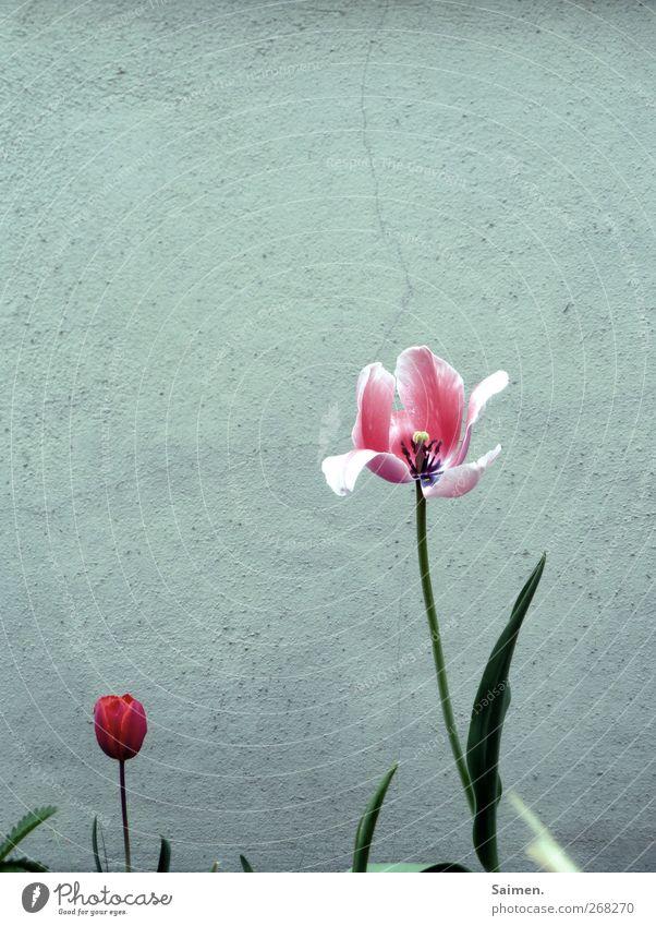 Wenn ich groß bin... Umwelt Natur Pflanze Frühling Blume Tulpe Blüte Garten Mauer Wand Fassade Blühend verblüht Wachstum natürlich Stadt grau rosa rot Leben
