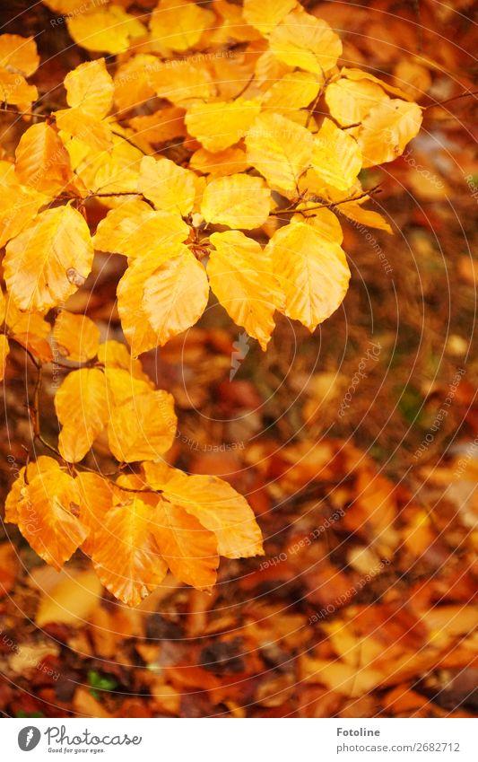 Herbsterinnerungen Natur Pflanze Baum Blatt Wald gelb Umwelt natürlich orange braun Erde Urelemente Herbstlaub herbstlich Herbstfärbung Buche
