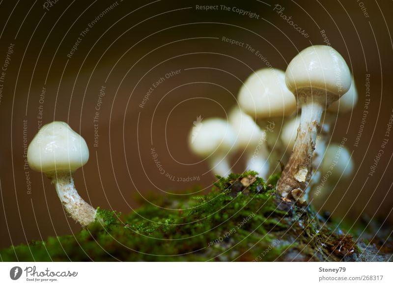 Buchen-Schleimrübling Natur Pflanze Herbst Moos frisch glänzend schleimig grün weiß Wachstum Pilz Beringter Buchenschleimrübling Farbfoto Gedeckte Farben