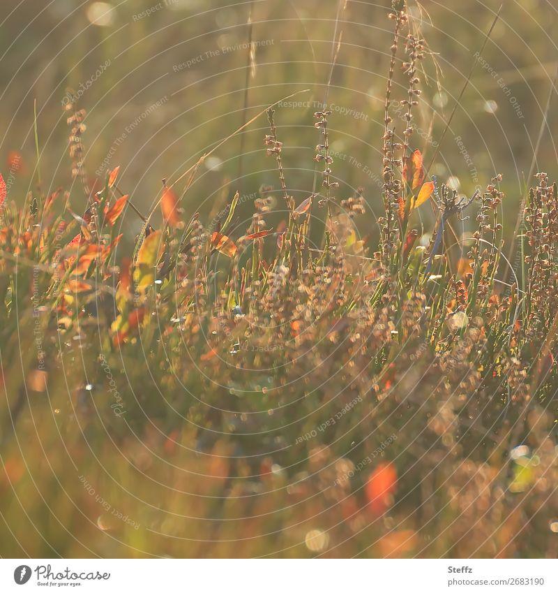 Letzte sonnige Tage Umwelt Natur Landschaft Pflanze Sonnenlicht Herbst Schönes Wetter Sträucher Wildpflanze Heidekrautgewächse Wiese Wachstum natürlich schön