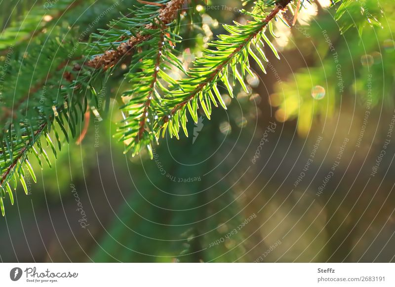 Es weihnachtet sehr Feste & Feiern Weihnachten & Advent Natur Pflanze Grünpflanze Wildpflanze Tanne Tannenzweig Tannennadel Zweig Wald glänzend Fröhlichkeit