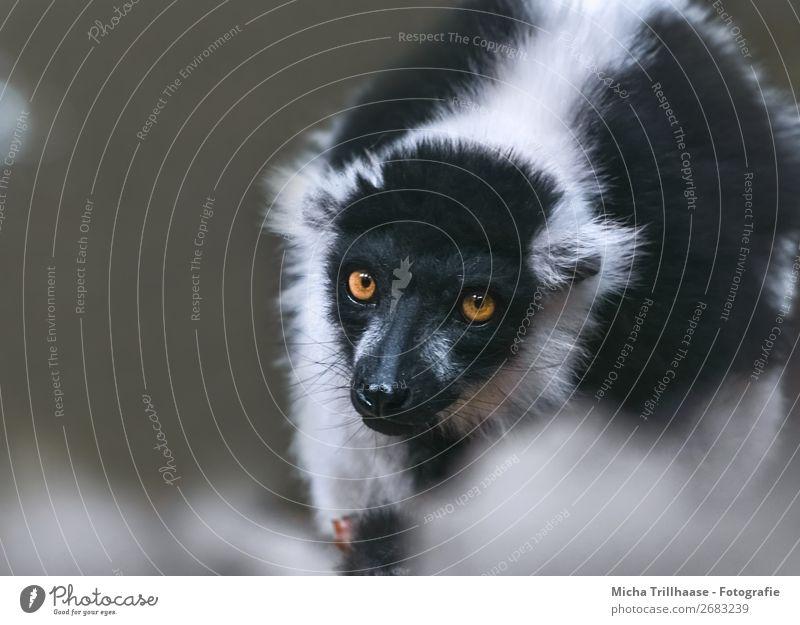 Im Blick Natur Tier Sonnenlicht Schönes Wetter Wildtier Tiergesicht Fell Vari Halbaffen Affen Auge 1 beobachten glänzend leuchten exotisch nah natürlich Neugier
