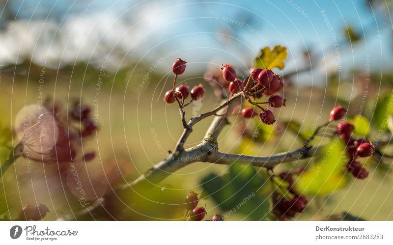 Hagebutten im Frühjahr 2018 Natur Frühling Schönes Wetter Pflanze Baum Sträucher Blatt Wildpflanze Deutschland natürlich positiv blau grün rot Verantwortung