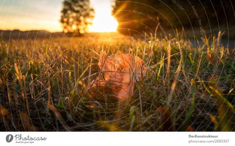 Im Gegenlicht der Abendsonne Umwelt Natur Landschaft Pflanze Tier Sonne Sonnenaufgang Sonnenuntergang Herbst Klima Wetter Schönes Wetter Wärme Gras Blatt Wiese