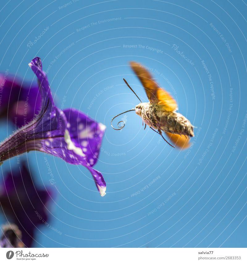 Tankstelle Umwelt Natur Himmel Wolkenloser Himmel Sonne Sommer Blume Blüte Petunie Garten Tier Schmetterling Flügel Insekt Taubenschwänzchen 1 Blühend fliegen
