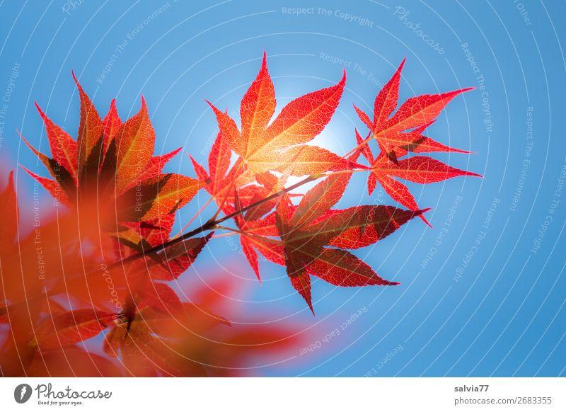 ein sonniger Tag Umwelt Natur Pflanze Himmel Wolkenloser Himmel Sonne Herbst Klima Schönes Wetter Baum Sträucher Blatt Zweige u. Äste Ahornblatt Blattadern