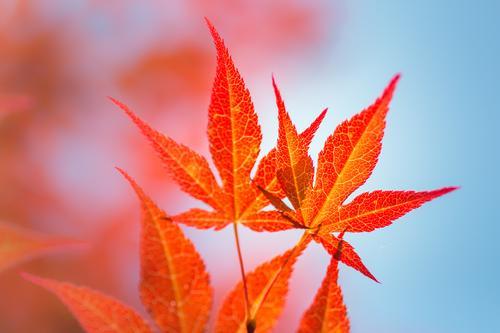 kräftig orange Umwelt Natur Pflanze Luft Himmel Sommer Herbst Baum Sträucher Blatt Ahorn Herbstfärbung herbstlich Japanischer Ahorn Garten Park leuchten Wärme