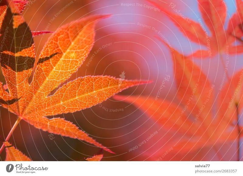 Vorfreude | auf den Herbst Blätter leuchtende Farben Herbstlaub Herbstfärbung Natur Blatt Ahornblatt herbstlich Pflanze Gegenlicht Blattadern Außenaufnahme