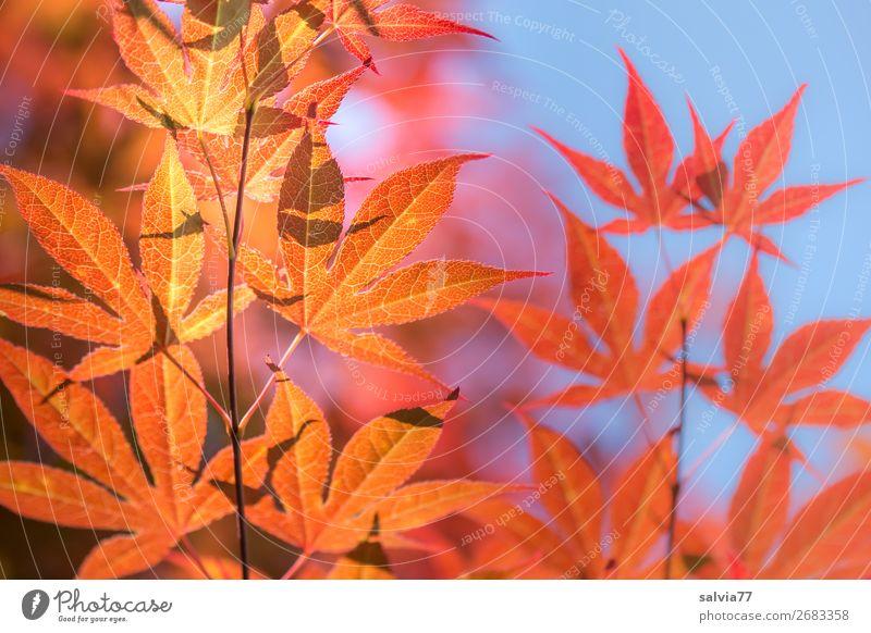 leuchtende  Ahornblätter Natur Ahornblatt Herbst Baum herbstlich Zweige und Äste Herbstfärbung Himmel Zweige u. Äste Herbstlaub Sonnenlicht orange-rot