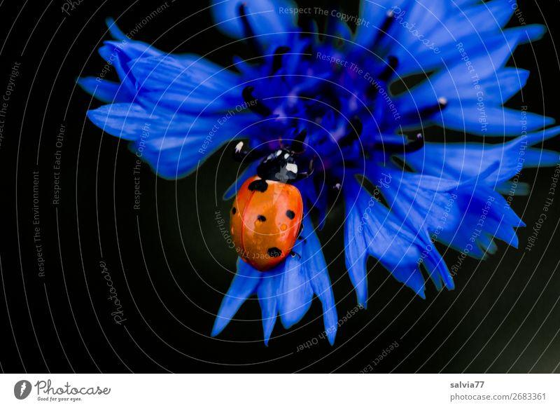 von der Kornblume naschen Natur Sommer Pflanze Blume Blüte Wildpflanze Feld Tier Käfer Insekt Marienkäfer Siebenpunkt-Marienkäfer 1 Blühend Duft genießen