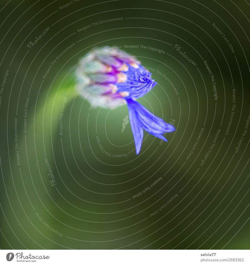 erst eins, dann zwei... Umwelt Natur Pflanze Sommer Blume Blüte Blütenknospen Kornblume Garten Blühend blau grün Beginn ästhetisch Farbfoto Außenaufnahme
