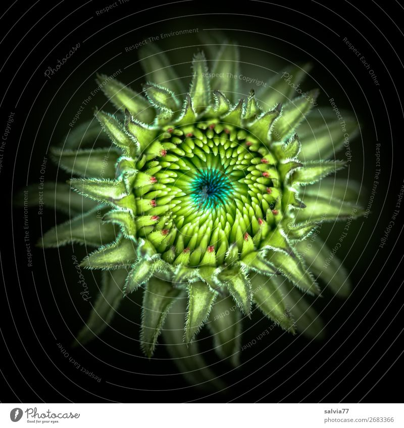 Blütenknospe Natur Pflanze schön grün Blume schwarz Umwelt Kunst Garten außergewöhnlich Design Wachstum ästhetisch Wandel & Veränderung rund