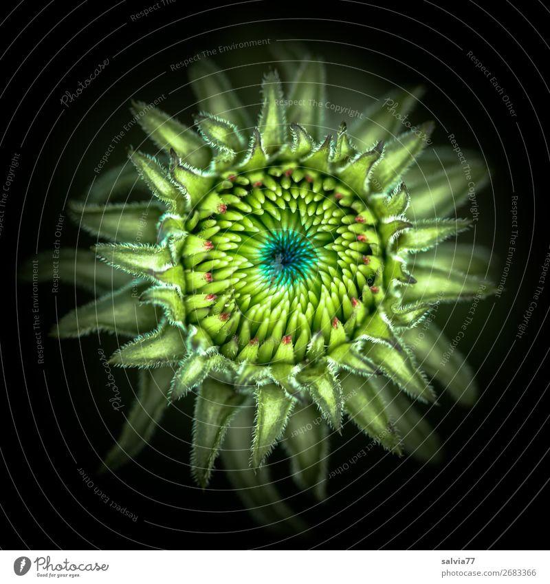 Blütenknospe Umwelt Natur Pflanze Blume Nutzpflanze Roter Sonnenhut Garten ästhetisch außergewöhnlich rund schön grün schwarz Design Kunst Mittelpunkt Symmetrie